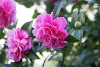 Camellia Walk at Greenway House - National Trust