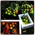 Cockington Apple Day